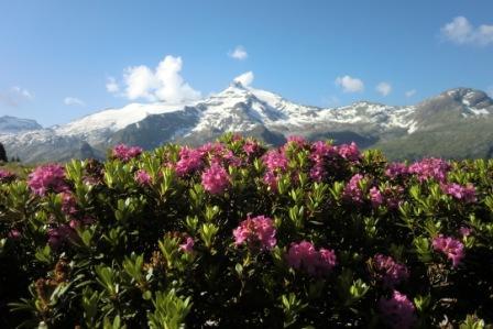 Blüte der Alpenrosen – Rein in Taufers, Ahrntal