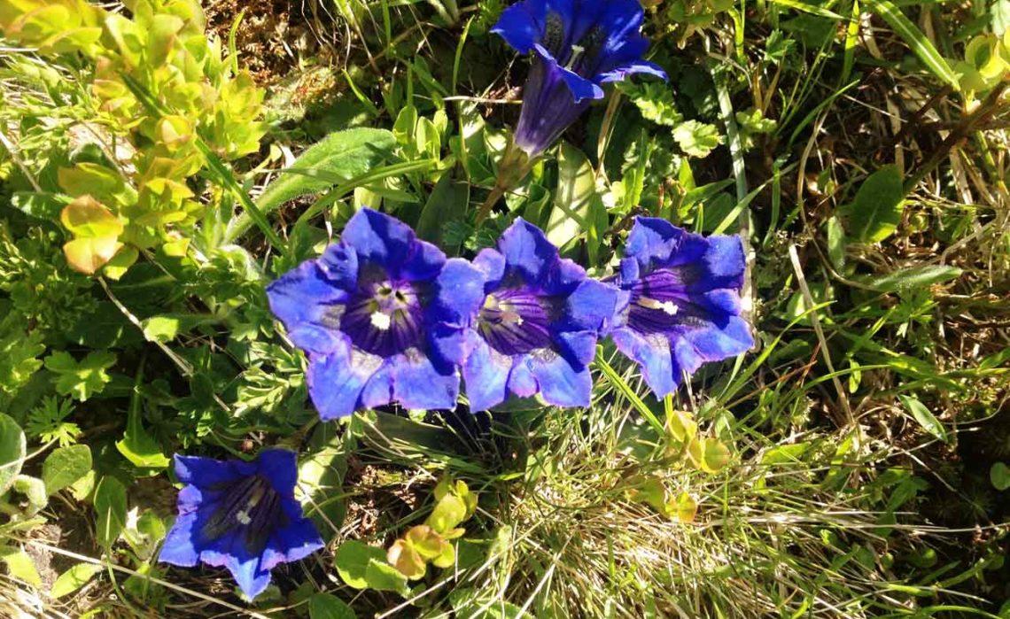 Blau, blau, blau… blüht der Enzian…