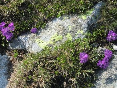 rein-in-taufers-wandern-blumen-violett-tauferer-ahrntal