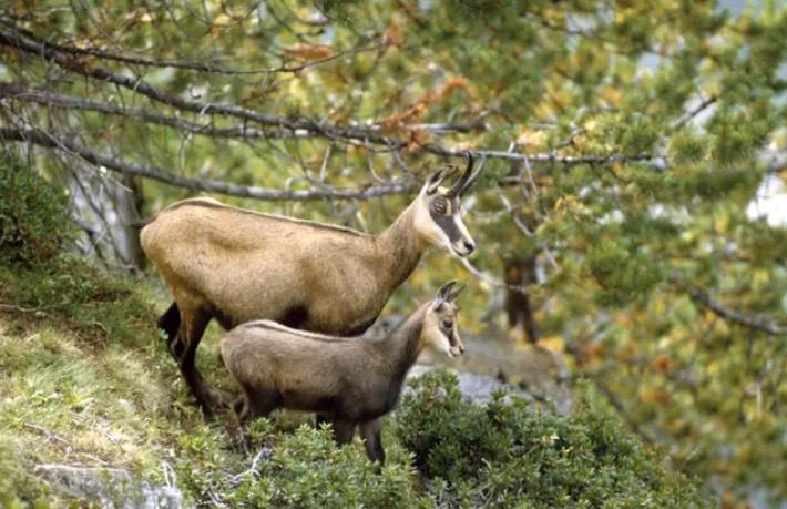Wildtiere Gämsen beobachten